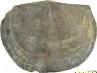 Holtedahlina sulcata (de Verneuil, 1848), TUG 713-196