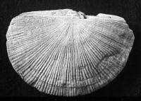 Holtedahlina sakuensis Oraspõld, 1956, TUG 74-9
