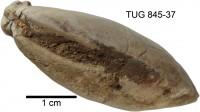 Modiolopsis sp., TUG 845-37