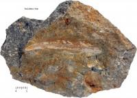 Ptilodictya lanceolata (Goldfuss, 1826), TUG 860-1709