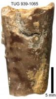 Ormoceras novum Stumbur, TUG 939-1065