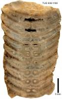 Ormoceras profundum Stumbur, TUG 939-1180