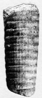 Pseudorthocerida