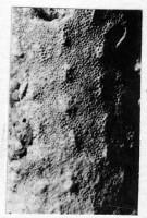 Ormoceras sp., TUG 939-32