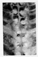 Ormoceras inquetum Stumbur, TUG 939-35