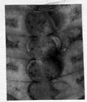 Ormoceras inquetum Stumbur, TUG 939-38
