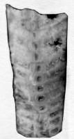 Ormoceras inquetum Stumbur, TUG 939-40