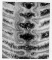 Ormoceras profundum Stumbur, TUG 939-41