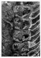 Ormoceras tantum Stumbur, TUG 939-49