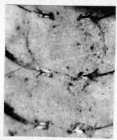 Ormoceras saxbyense Stumbur, TUG 939-52