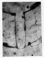 Orthoceras bifoveatum Noetling, 1884, TUG 939-5
