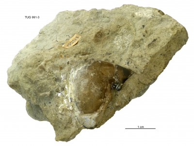 Toxochasmops (Schmidtops) vironiensis Rõõmusoks, 1998, TUG 991-3