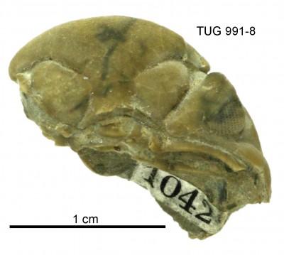Toxochasmops (Toxochasmops) notabilis Rõõmusoks, 1998, TUG 991-8